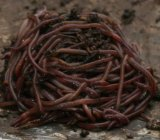 Red Wiggler Composting Worms Vermiculture Composting