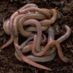 Worms 150x150 Vermiculture Composting